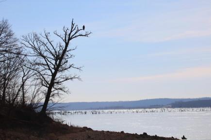 bald eagle in tree on lake