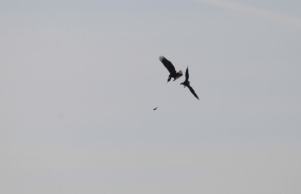bald eagles exchanging fish in flight