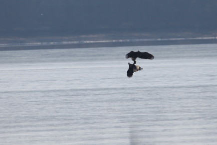 bald eagles courting