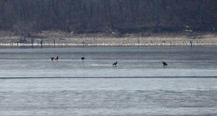 bald eagles sitting on ice