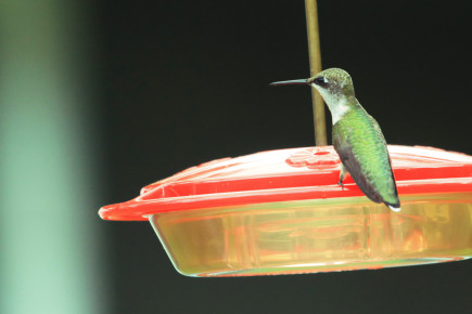 RT Hummingbird