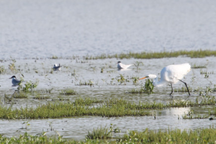 Egret and terns