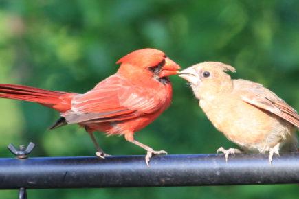 Cardinal feeding fledgling