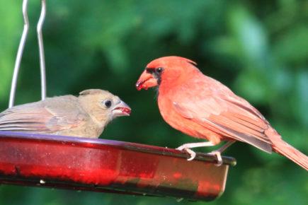 Cardinal feeding