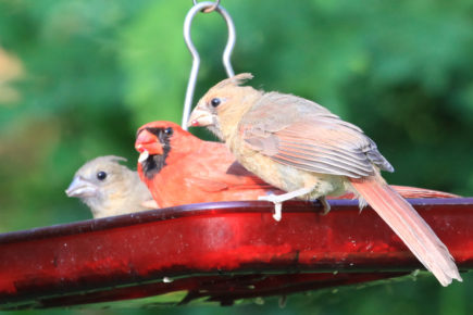Adult cardinal and fledglings