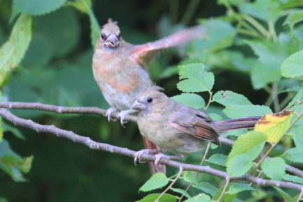 Fledgling cardinals