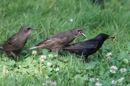 Starling with fledglings