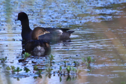 American coot and grebe
