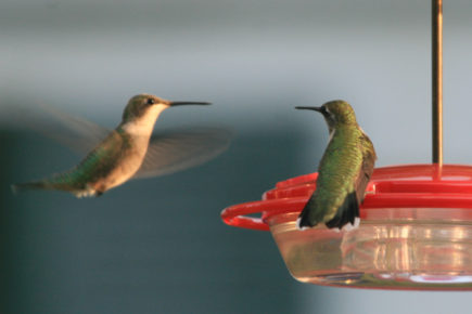 RT Hummingbirds