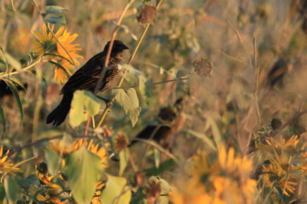 Red-winged blackbirds on sunflower