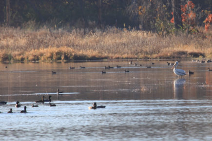 Pelican and ducks