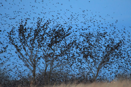 Murmur of blackbirds