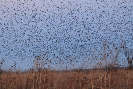 Murmur of blackbirds