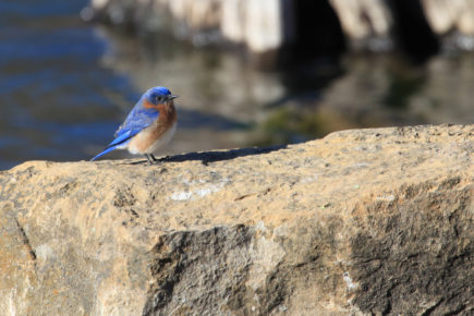 Eastern bluebird on rock