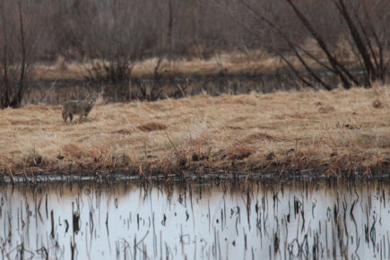 Coyote in wetlands