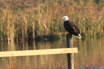 Adult bald eagle on fence above water