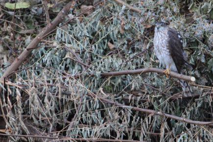 Cooper's hawk on brush pile.