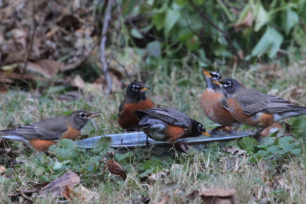 Robins drinking from bird bath