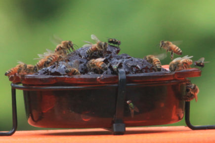 Bees covering jelly feeder