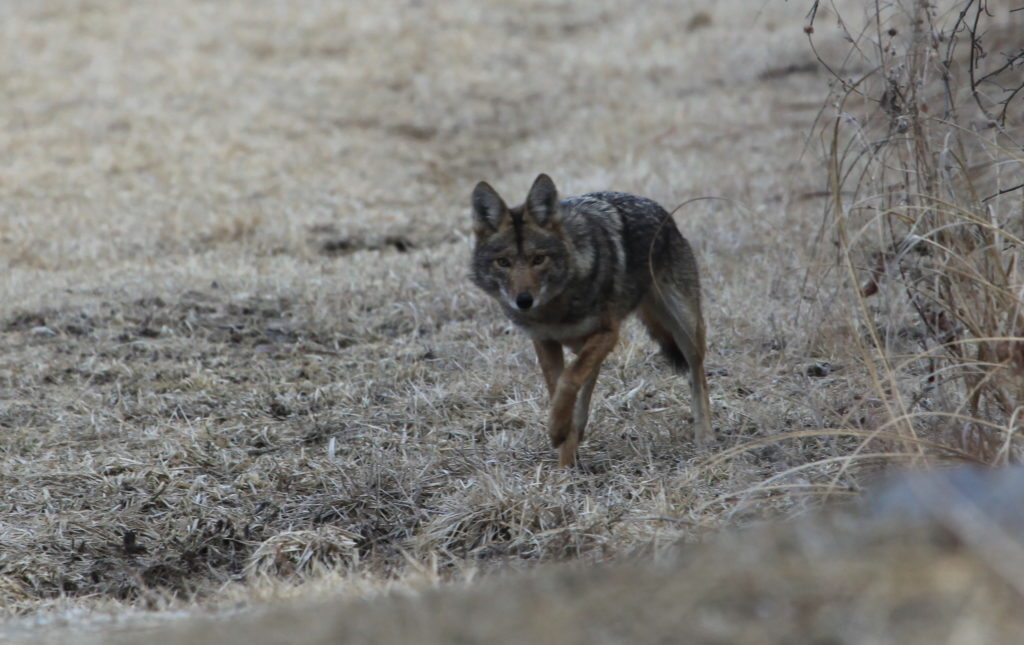 Coyote standing in winter grass.