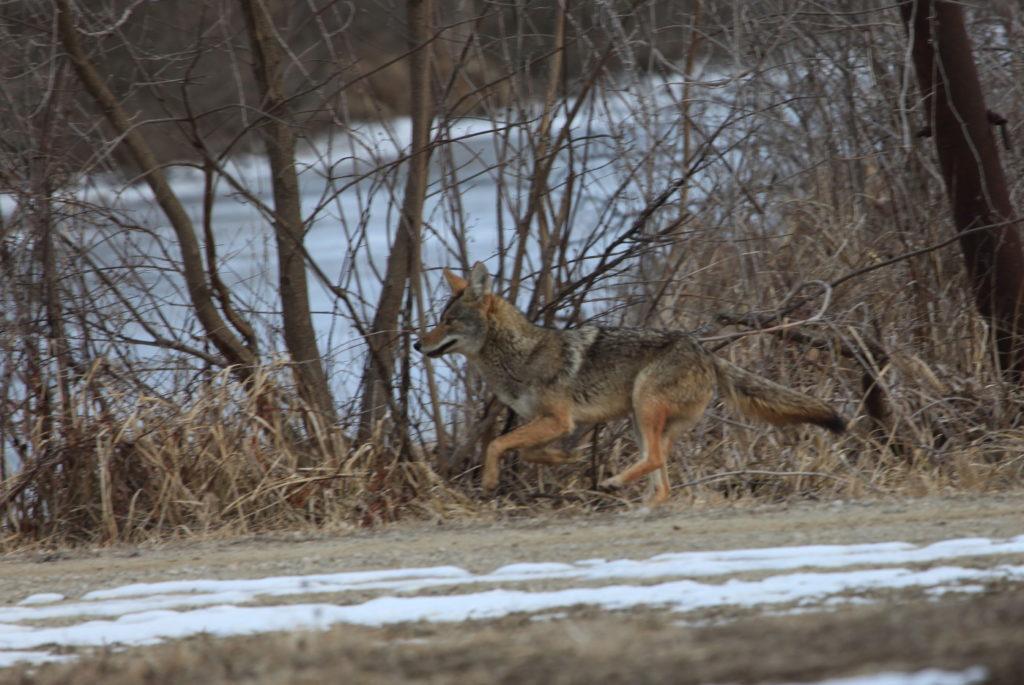 Coyote running.