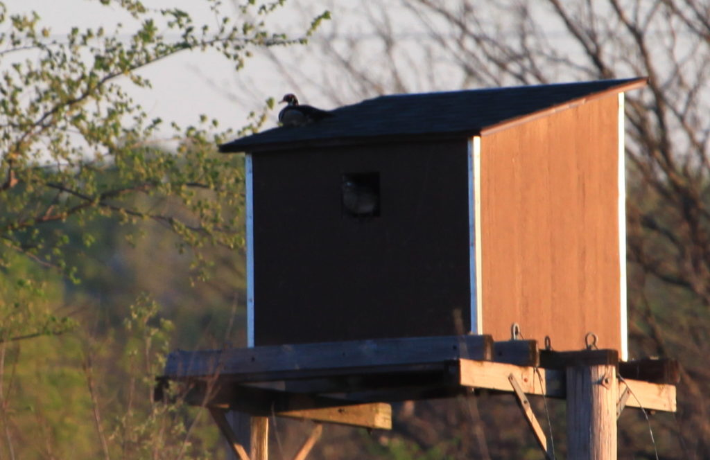Male wood duck on top of owl box. Female is looking out from inside.