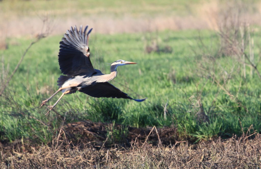 Heron taking off from marsh