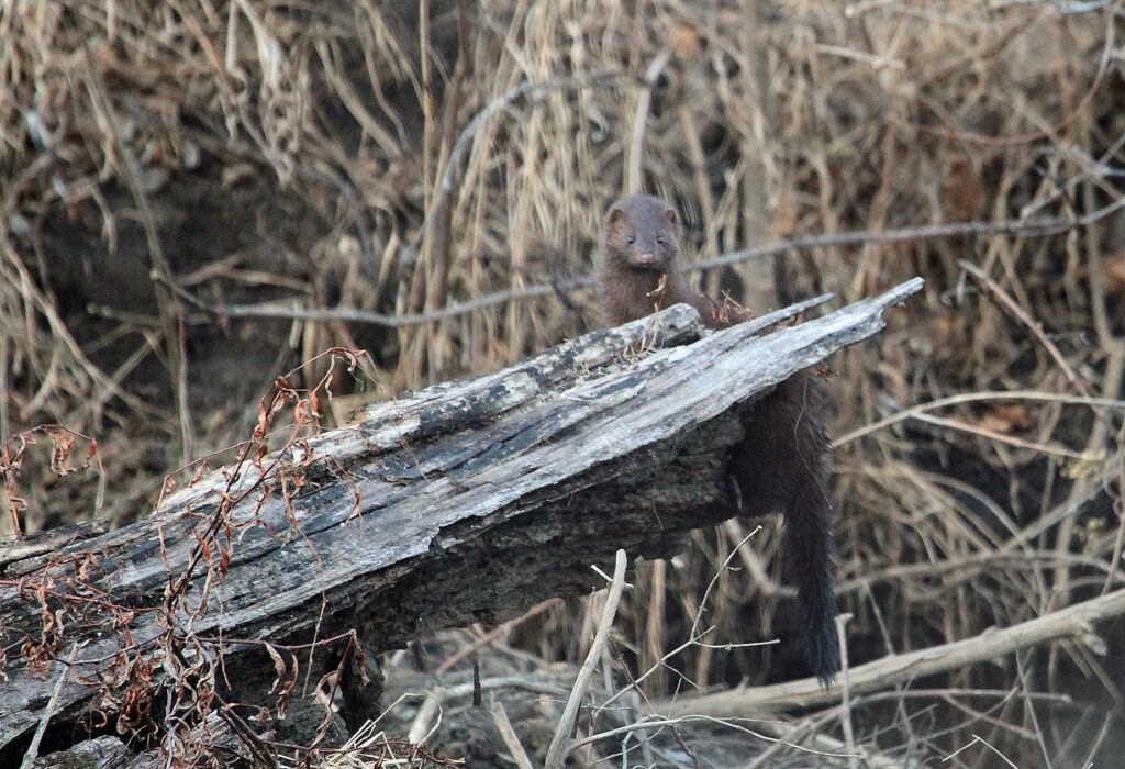 Mink standing on log.
