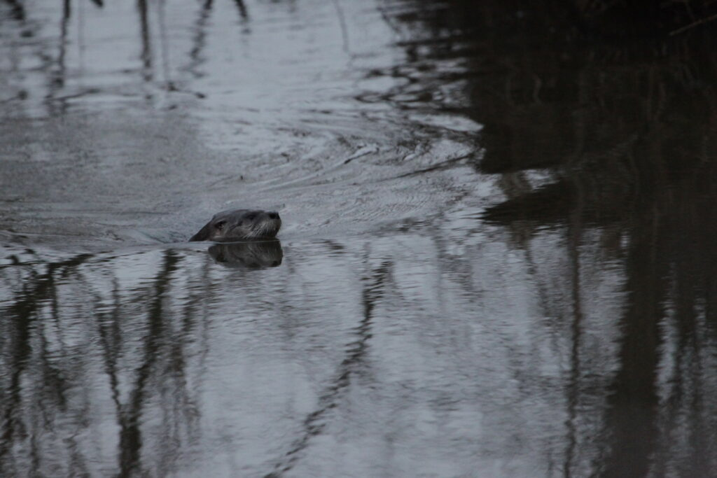 River otter; head out of water facing east.