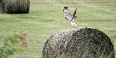 hawk fledgling leaving bale