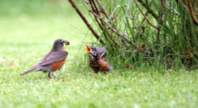 Dad feeding robin baby