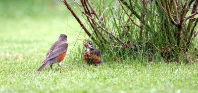 Robin Baby with Father