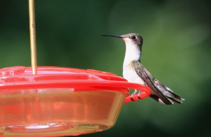 Juvenile ruby-throated hummingbird
