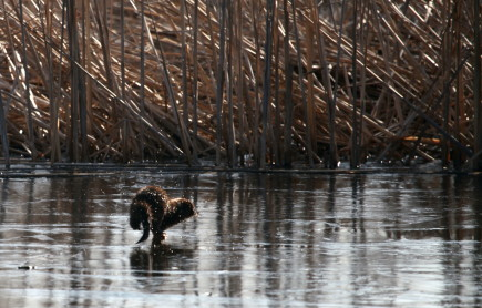 © Chris Taylor American mink scurries across the ice.