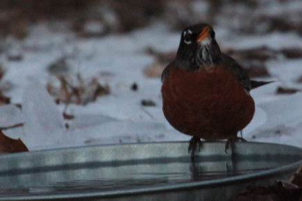 robin at bird bath