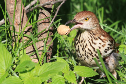 Brown thrasher with peanut