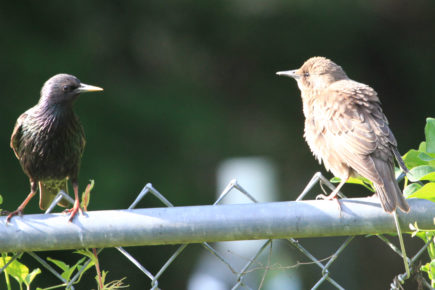 Starling with fledgling