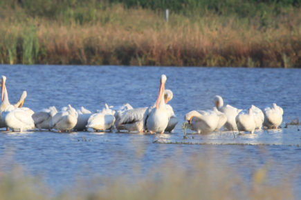 Pelicans in a line