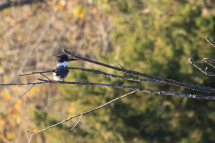 Belted kingfisher on tree