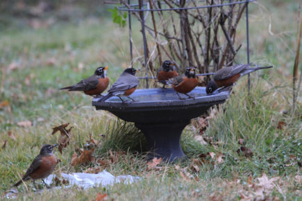 Robins on bird bath