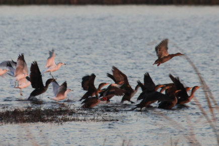 Cormorants, mallards, and gulls taking off from water