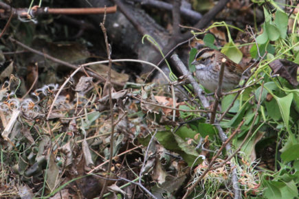 White-throated sparrow on brush pile.