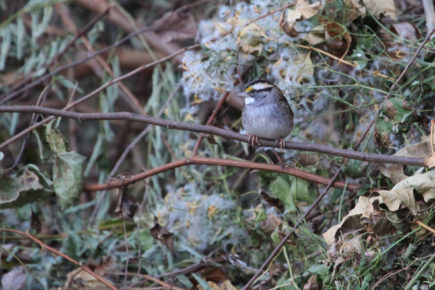 white-throated sparrow on brush pile