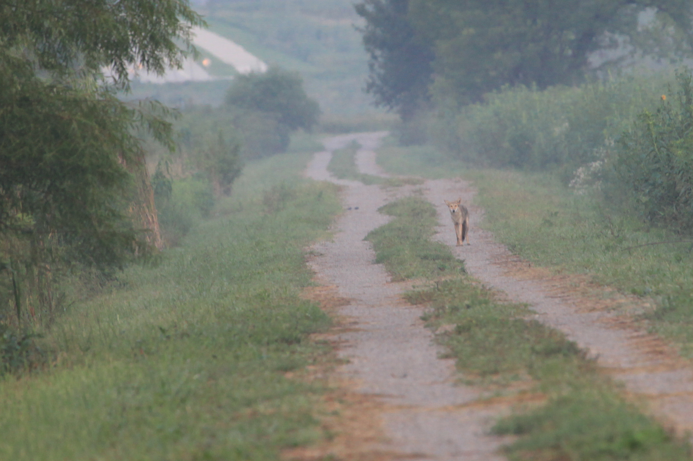 Coyote walking on path