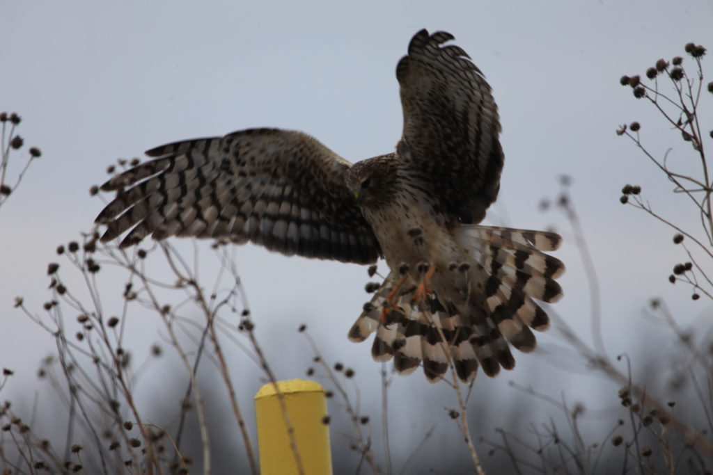 Northern harrier with wings outstretched coming in for landing