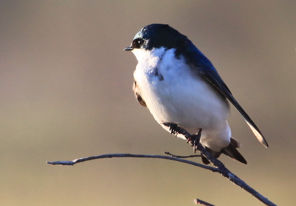 Tree swallow on branch looking west.