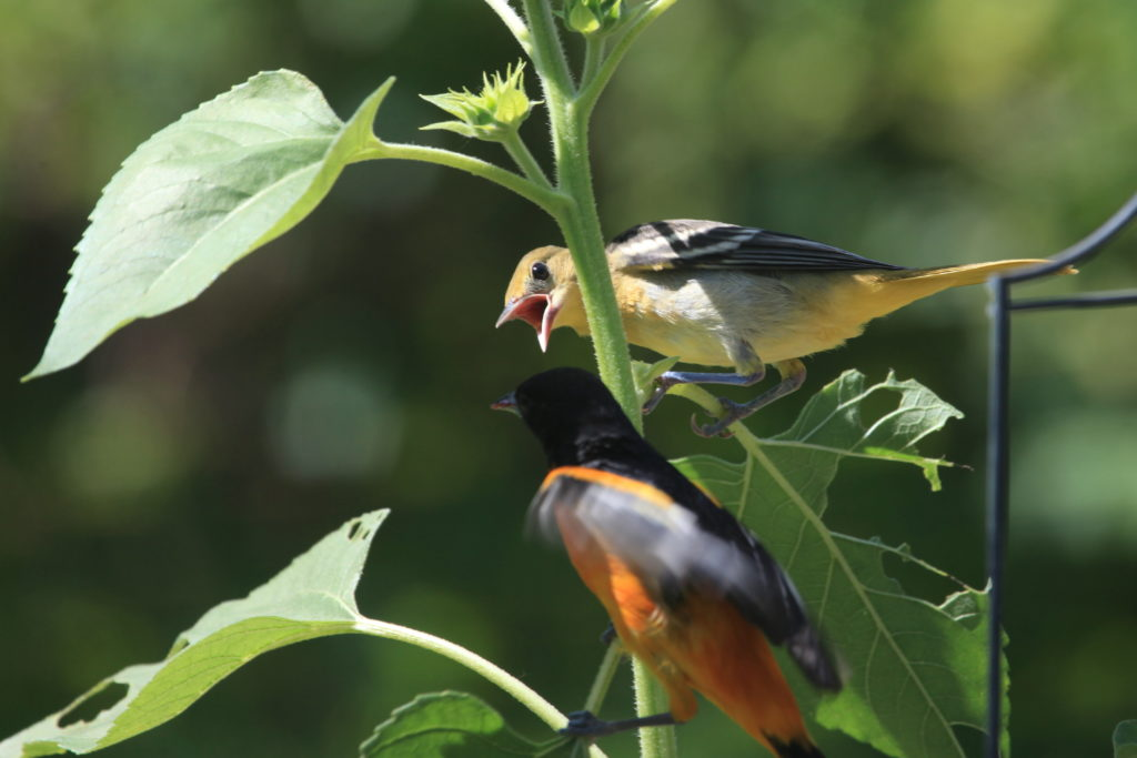 Baltimore oriole fledgling and parent.