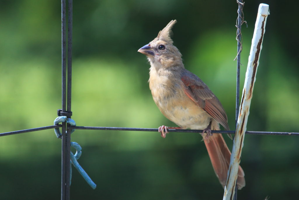 Northern cardinal fledgling perched on wire fence looking west.