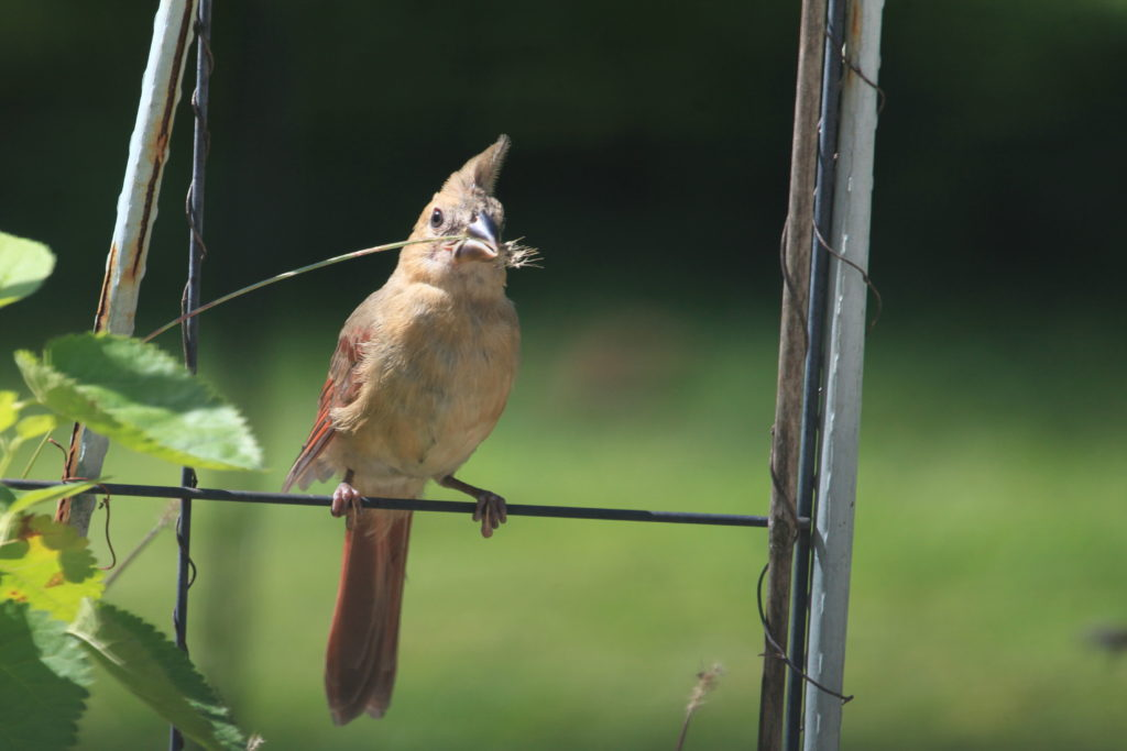 Northern cardinal fledgling perched on wire fence holding blade of grass in beak.