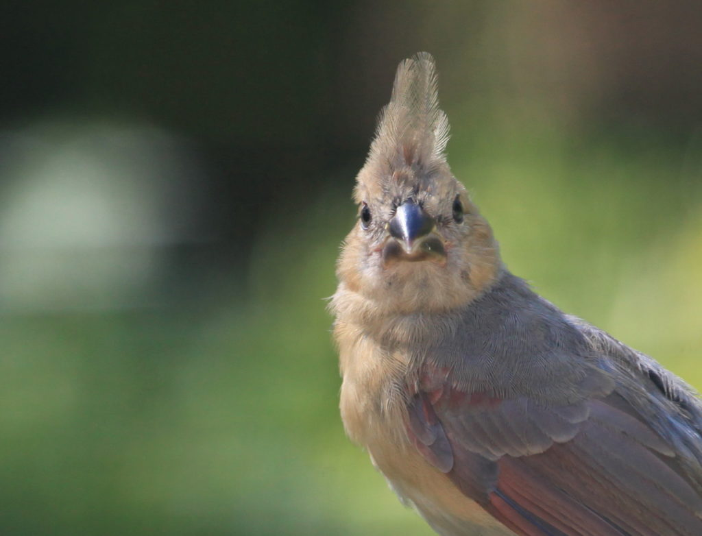 Close-up of Northern cardinal fledgling looking into camera.
